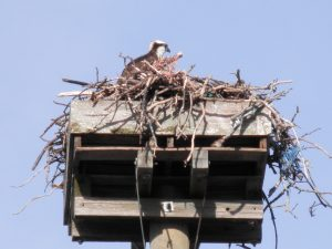 Wellfleet osprey in nest, April 3, 2017
